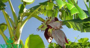 Cây chuối hột trị tiểu đường