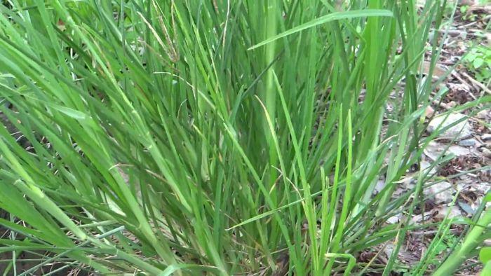 chữa cao huyết áp bằng cỏ mần trầu