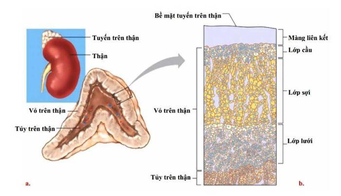 U tủy thượng thận là một loại khối u hiếm gặp ở tuyến thượng thận