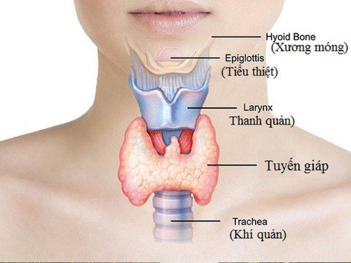 Tuyến giáp có vai trò rất quan trọng trong việc giải phóng, dự trữ và bài tiết hai hormon T4 (Thyroxine) và T3 (Triiodothyronine)