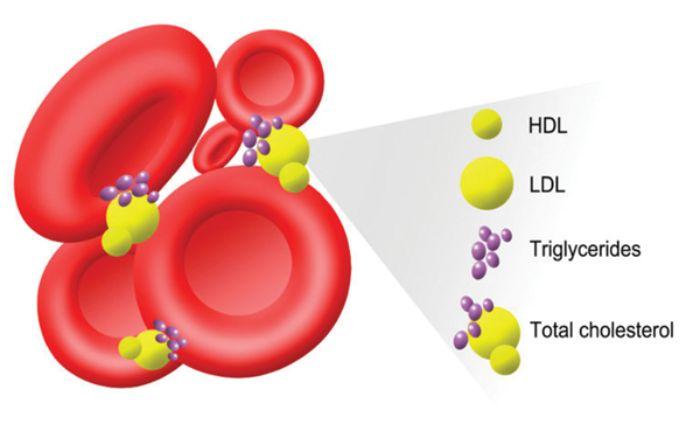 Cholesterol là chất béo có mặt ở tất cả các mô của cơ thể tại màng tế bào và có trong huyết tương của tất cả mọi loài động vật