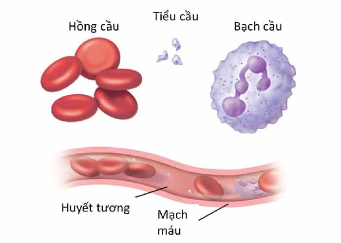 Tế bào máu được tạo ra bởi 3 thành phần quan trọng đó là bạch cầu, tiểu cầu và hồng cầu