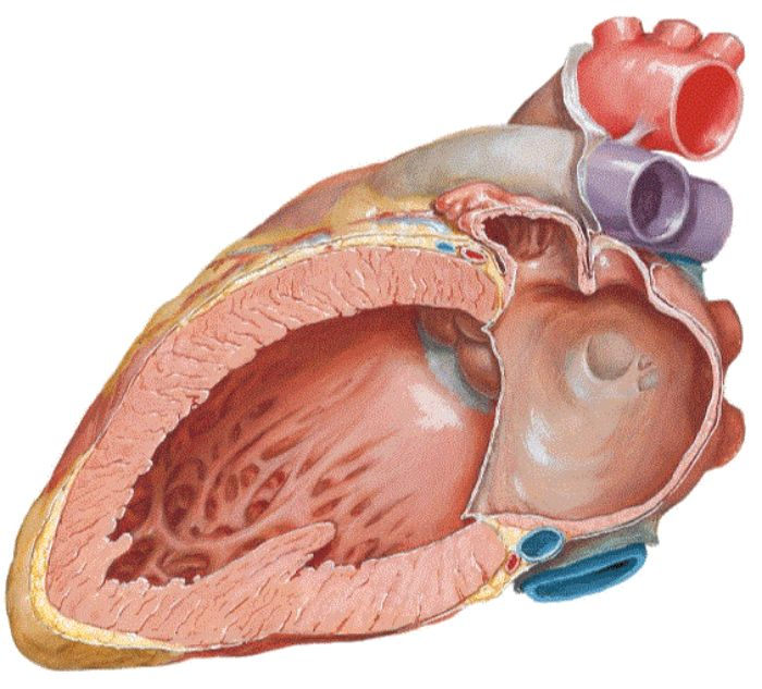 Hình ảnh tim người được cắt nửa mặt