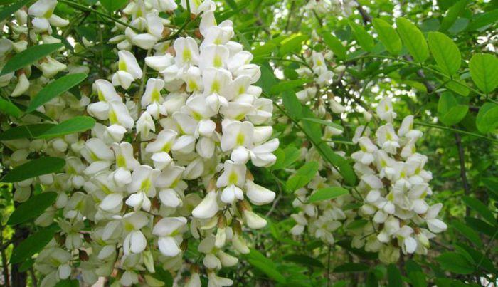 Cây hoa hòe là thảo dược quen thuộc trong các bài thuốc Đông Y