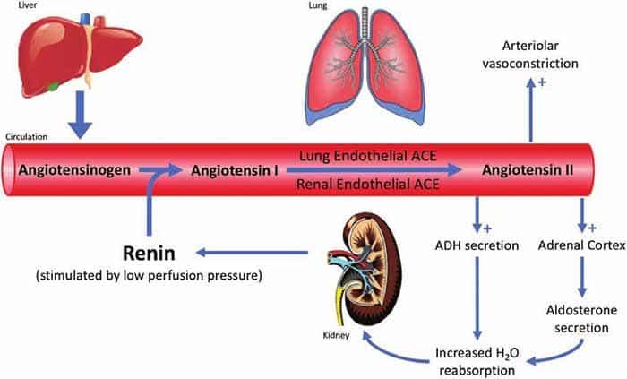 Sơ đồ tác động của thuốc ức chế renin khi vào cơ thể