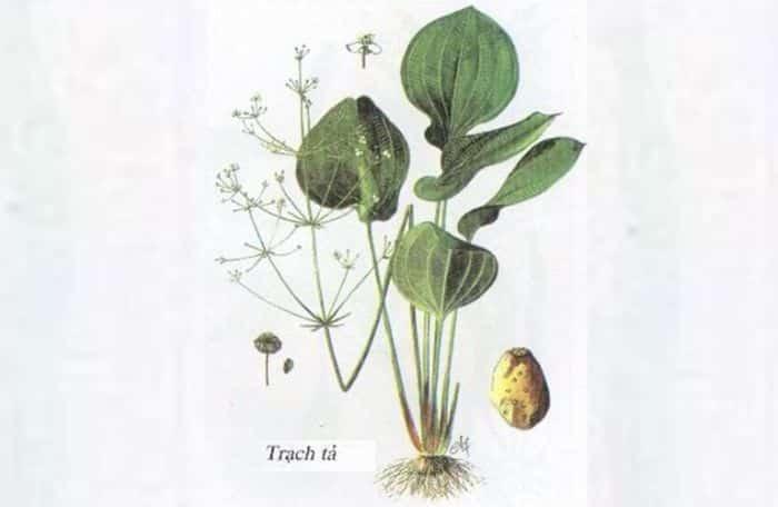 Trạch tả là loại thảo dược quý được sử dụng trong nhiều bài thuốc Đông Y