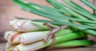 Cùng tìm hiểu về cách trị tiểu đường bằng cây sả nhé