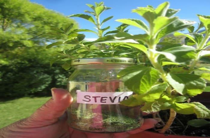 Đường Stevia có độ ngọt cao gấp 200 lần khi so sánh với đường mía thông thường