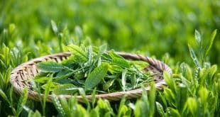 Lá trà xanh giúp điều trị tiểu đường rất tốt