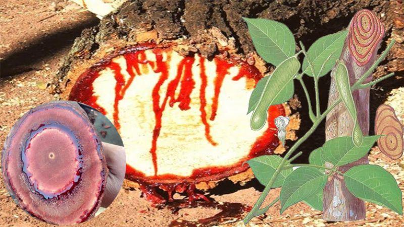 cây cỏ máu có tác dụng gì
