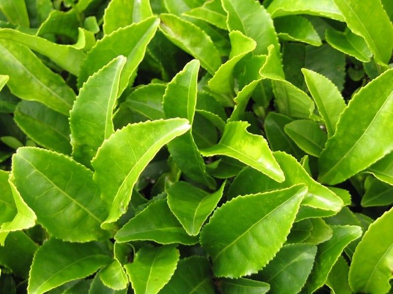 Lá trà xanh giúp giảm mỡ máu hiệu quả