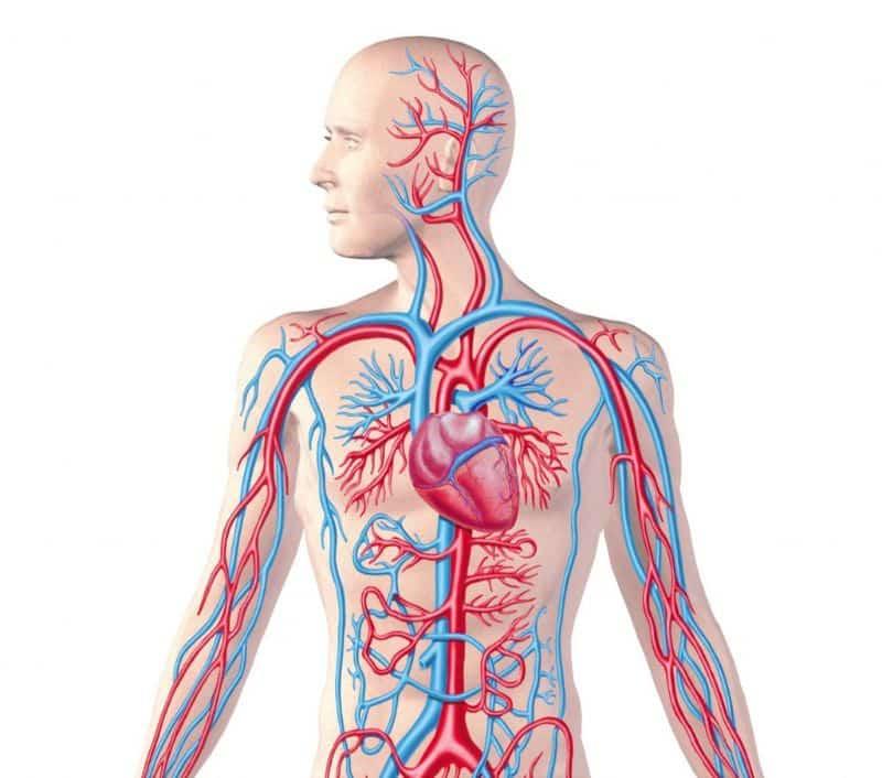 Hệ tuần hoàn vận chuyển dinh dưỡng, oxy, các hormon,... đến từng tế bào