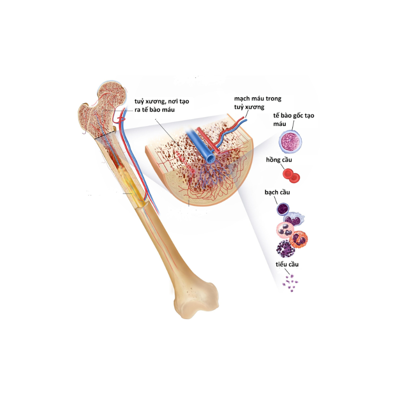 quy trình sản sinh ra máu