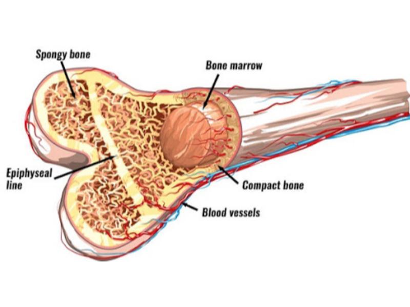 Tủy xương có chức năng gì